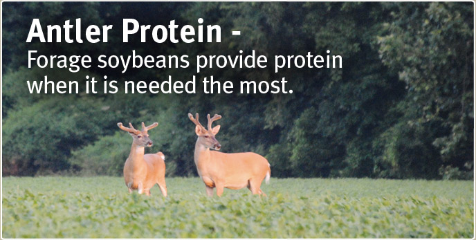 Antler Protein - Forage soybeans provide protein when it is needed the most.