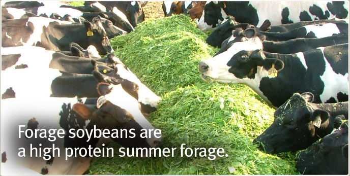 Forage soybeans are a high protein summer forage