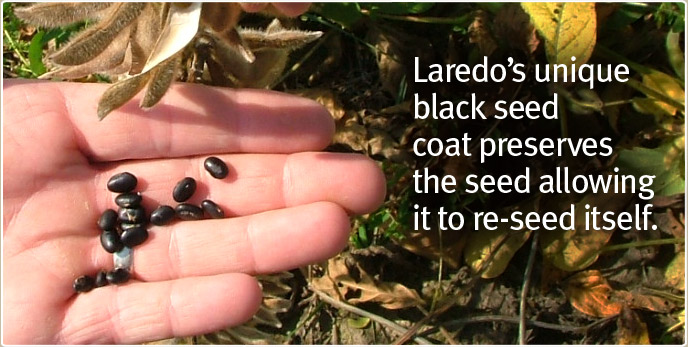Laredo's unique black seed coat preserves the seed allowing it to re-seed itself.